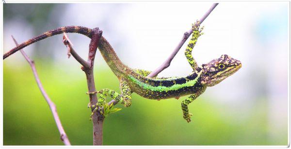 丽纹龙蜥有毒吗